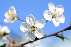 Branch to flowering cherry. On background blue sky Stock Image
