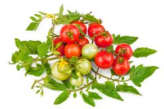 Branch of tomatoes with green leaves. Isolated on white background Royalty Free Stock Image