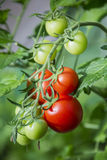 Branch of tomatoes in greenhouse Stock Images