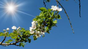 Branch of a tree. With the dismissed flowering and the bright shone sun in the sky Stock Photos