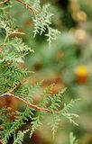Branch of tree. The branch of the juniper in the forest Stock Image