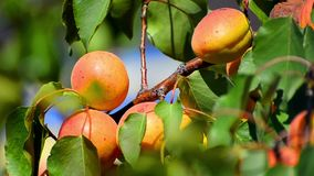 Branch of a tree with apricot stock video