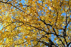Branch tree with autumn sheet. On background sky royalty free stock photos