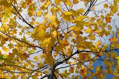 Branch tree with autumn sheet royalty free stock photography