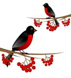 Branch tree with berry wild ash and bird bullfinch Stock Photo