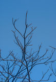 Branch of tree and blue sky Stock Photography