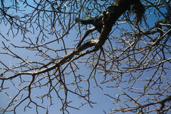 Branch of tree on blue sky Royalty Free Stock Photography
