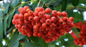 Red berries of the rowan ash_5. On a branch of a tree bunch of red berries of rowan ash and green leaves Stock Photo