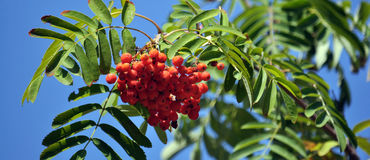 Red berries of the rowan ash_8. On a branch of a tree bunch of red berries of rowan ash and green leaves Stock Photo