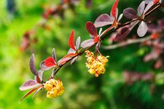 A branch of a tree with burgundy leaves and yellow flowers on a blurred background. stock photos