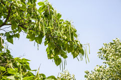 A branch of a tree Catalpa with long pods. On the background of blue sky stock images