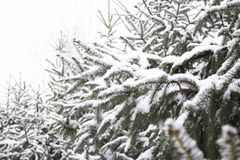 A branch of a tree covered with fluffy snow Paw pine with green needles Branch on green background with white snow in clear sunny royalty free stock image