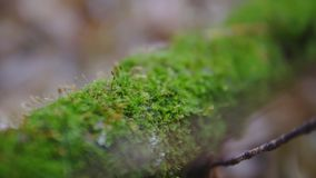 A branch of a tree covered with green moss. autumn forest, slow-motion shooting. synematics shot.  stock footage