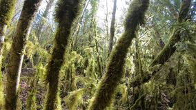 Branch and tree covered with moss in  forest. Branch and tree covered with moss in pyrenean forest stock video footage