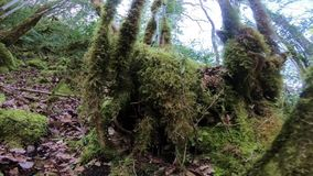 Branch and tree covered with moss in  forest. Branch and tree covered with moss in pyrenean forest stock footage