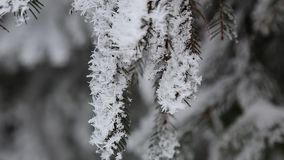 The branch of the tree is covered with snow on all sides.  stock footage