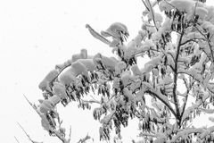 A branch of a tree covered with snow. Snowflakes seen falling in. The background. Black and white Stock Image