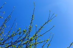 Branch of tree with first green leaves and buds against blue sky. Spring. Background stock images