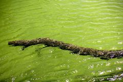 Branch of tree floating on green river lake water Royalty Free Stock Photography