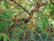 The branch of the tree in the forest is affected by the disease. The branch of the tree in the forest is affected by the disease, which slowly kills this tree Stock Photos