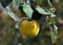 Branch of the tree with the fruits of quince. Branch of tree with ripe fruits of quince and leaves Stock Images