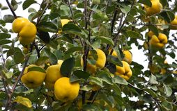 Branch of the tree with the fruits of quince. Branch of tree with ripe fruits of quince and leaves Stock Photography