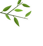 Branch Tree with Green Leaf Royalty Free Stock Photos