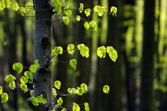 Branch of tree with green leaves on background of forest Stock Photo