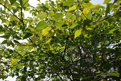 Branch of the tree with green leaves, closer look. White the sky on the background royalty free stock photos