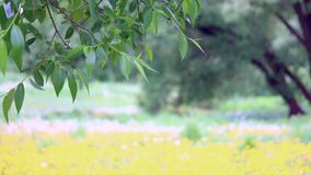 The branch of a tree with green leaves is swinging in the wind against the background of a flowering meadow with yellow dandelions.  stock footage
