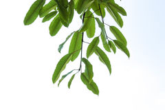 Branch of tree. Green leaves from branch of tree with white background stock photos