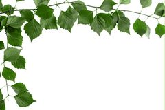 Branch of tree with green leaves. White background, copy space for text stock photography