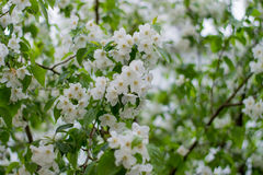 Branch of a tree with green leaves and white flowers. Blooming a Stock Images
