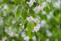 Branch of a tree with green leaves and white flowers. Blooming a Stock Photo
