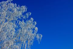 Branch of a tree in a hoarfrost against a blue sky Stock Image