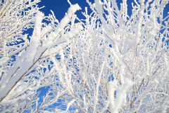 Branch of a tree in hoarfrost on background blue sky Royalty Free Stock Photos