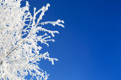 Branch of a tree in hoarfrost on background blue sky Stock Photo