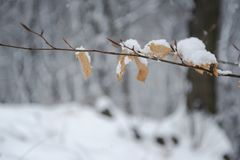 Branch tree and leaf covered by snowflakes royalty free stock photography