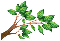 A branch of a tree with leaves. Illustration of a branch of a tree with leaves on a white background vector illustration