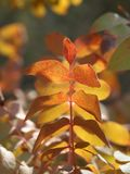 A branch of a tree with leaves of yellow-red shades in rays of the autumn sun. Royalty Free Stock Photos
