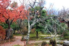 The branch of tree with lichen moss and background out focus red and green tree in autumn garden. stock photos