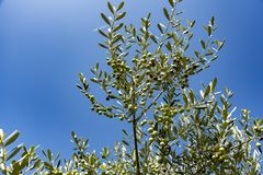 Branch tree olive Stock Photo