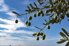 Branch tree olive Royalty Free Stock Images