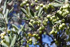 Branch tree olive Royalty Free Stock Photo