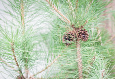 Branch of tree with pine cones Royalty Free Stock Photos
