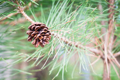Branch of tree with pine cones Stock Photography