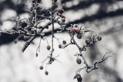 Branch of tree with red berried covered in white frost Stock Photography