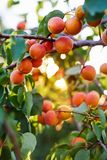 Branch of tree with ripe apricots royalty free stock image