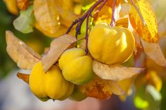 Branch of tree with ripe fruits of quince and leaves.  stock image