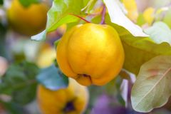 Branch of tree with ripe fruits of quince and leaves.  stock images